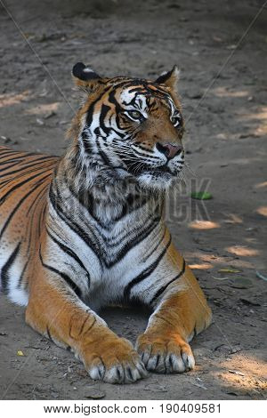 Close Up Of Sumatran Tiger Laying On The Ground