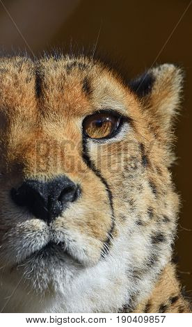 Extreme Close Up Portrait Of Cheetah
