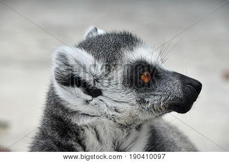 Close Up Portrait Of Ring-tailed Lemur Catta