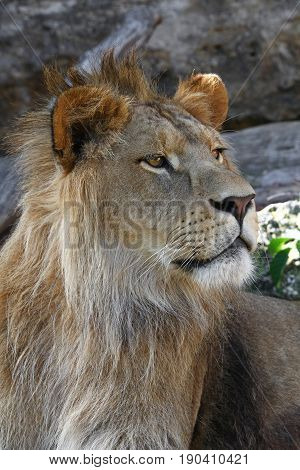 Close Up Side Portrait Of Young Male African Lion