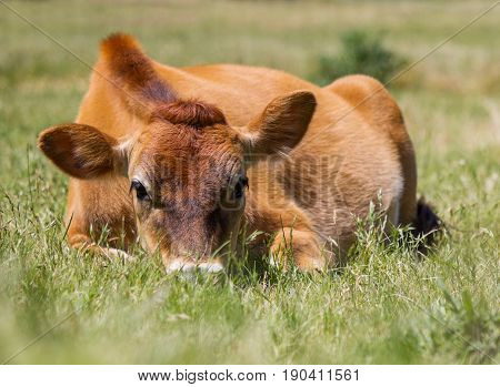 Cute jersey cow with it's head in the grass.
