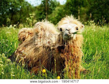 Camel chewing food with open mouth lying isolated on green grass, summer time
