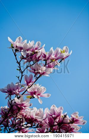 flowers. blossoming of magnolia flowers in spring time on natural background