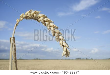 One grain ear at wheat field over blue sky. Closeup
