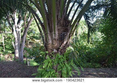 Fill in one of the palm oil producing trees called palm oil