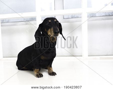 Beautiful dachshund dog sitting on the a white floor in a white room. Picture of dog.
