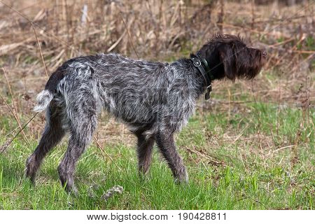 hunting dog german wirehaired pointer standing on the field