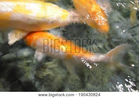Fancy Carp Or Koi Fish Swimming At Pond