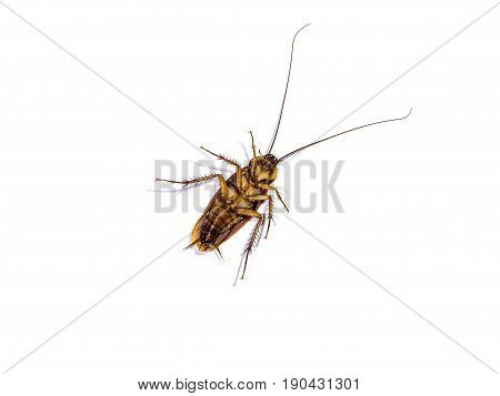 Cockroach isolated on white background, body of cockroach