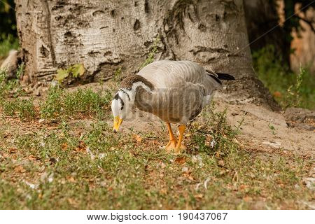 A Gray Goose Walks On The Grass
