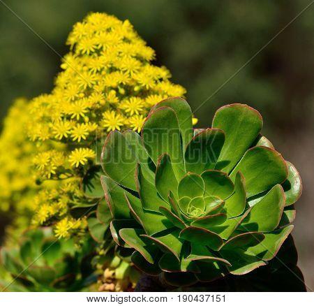 Green rosette and splendid flower of wild aeonium