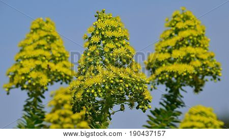 Flower heads of aeonium with blue sky background