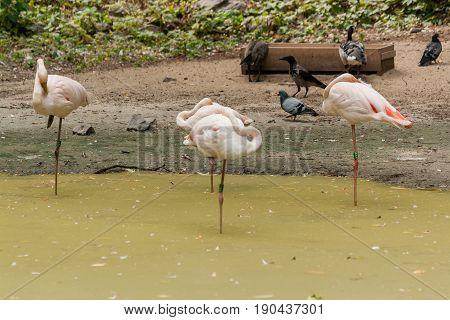 Flamingo walks on water close up .