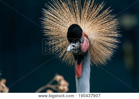 Beautiful Crowned Crane (balearica Pavonina)