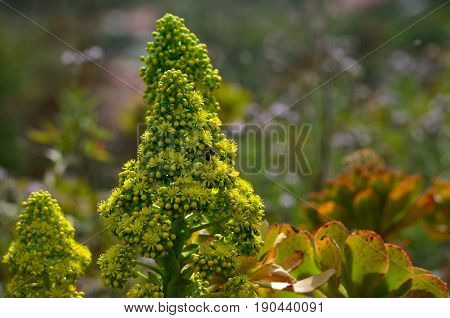 Splendid flowers of aeonium, wild plant of Canary islands