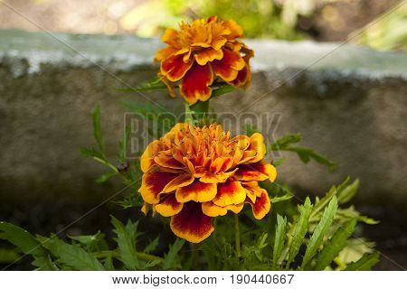 Two blossoms of the red marigold Latin name Tagetes .