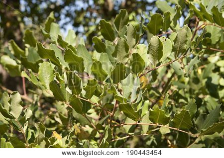 Leaves and branches of Carob tree, Ceratonia siliqua. It is native of the Mediterranean Region and it is widely cultivated for its edible pods and as an ornamental tree in gardens