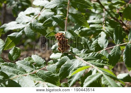 Leaves and fruits of Elm-leaved sumach, Rhus coriaria. The dried fruits are used as a spice and the leaves and bark used in tanning