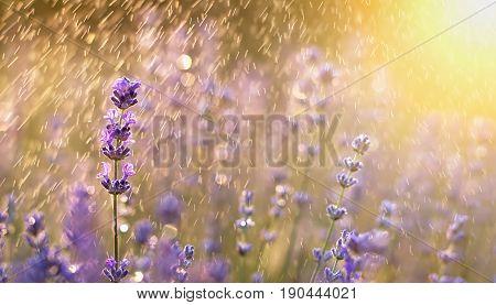 Summer rain shower with purple lavender flowers - banner greeting card idea