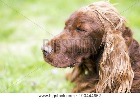 Lazy sleepy Irish Setter dog resting in the grass