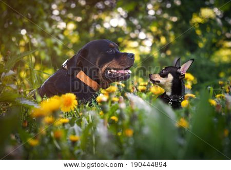 The huge and little dog sitting in green grass. A large Rottweiler and a small toy Terrier