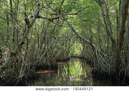 Mangrove trees in Everglades National Park, Florida