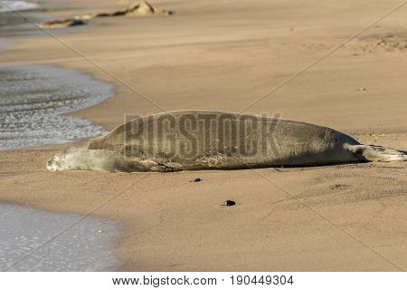 an endangered monk seal resting on a Maui beach