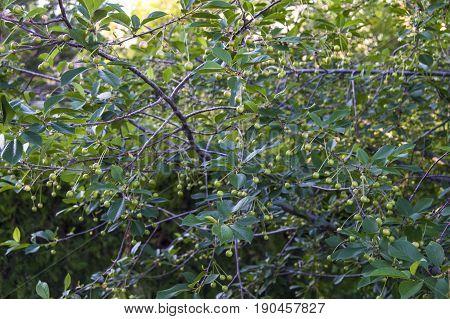 Unripe fruit trees, unripe cherry fruit, pictures of raw fruit