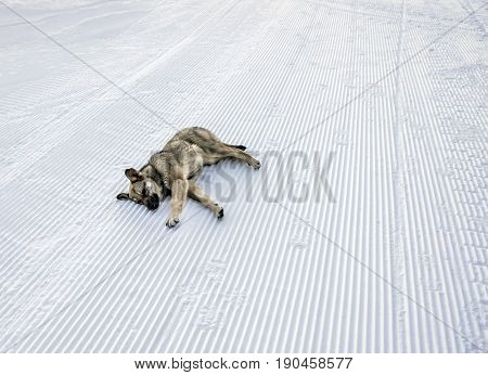 Stray dog lying on snow at winter resort in mountains on ski slopes