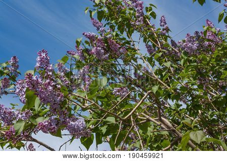 Pale Lilac Flowers Of The Lilac Branches With Green Leaves With Blurred Background.