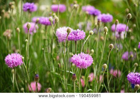 Beautiful purple cornflowers in green summer garden