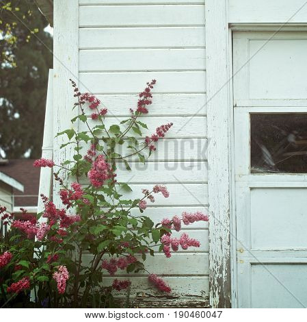 Flowers growing along an old shed in town
