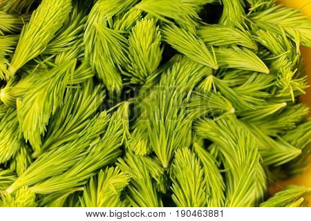 Fresh green sprouts of spruce trees (Picea abies) for pharmaceutical purposes.