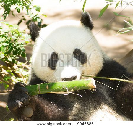 Endangered Giant Panda Eating Feeding Bamboo Stalk