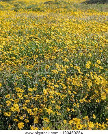 A Field Of California Brittlebush
