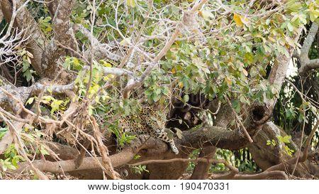 Jaguar From Pantanal, Brazil