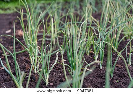 Onions On A Bed. The Green Onions Grow In The Earth.
