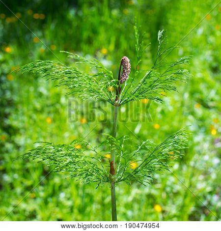 Horsetail ( lat. Equisetum sylvaticum ). Perennial herb