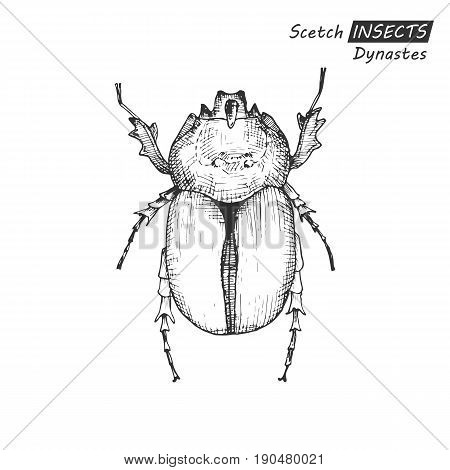 Hand drawn ink sketch of dynastes isolated on white background. Vector illustration. Drawing in vintage style.