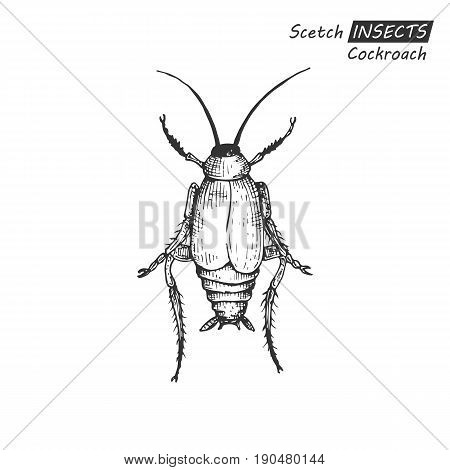 Hand drawn ink sketch of cockroach isolated on white background. Vector illustration. Drawing in vintage style.
