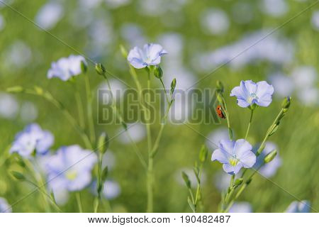 Blue flowers of flax in a field in summer close up shallow depth of field