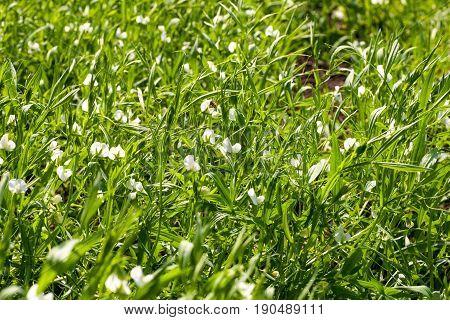 Lentil plant in the field. Macro photo of a lentil flower in a field.