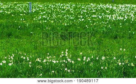 White daffodil on the landscape design of the flower garden. White daffodils in the fields in the spring