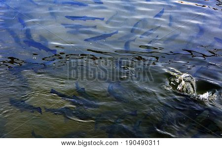 A flock of trout floating in a shallow river with pebbles. Type of fish from above.
