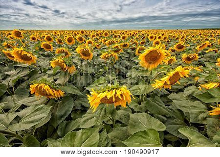 Sunflower field in sunshine with different focus and shallow depth of field summer landscape. Agriculture background