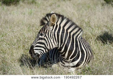 Plains Zebra, Addo Elephant National Park