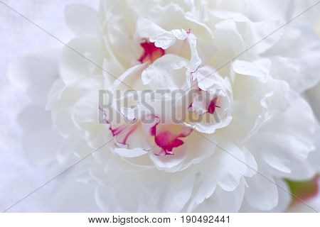 Background of fresh peony flower, white with a little pink.
