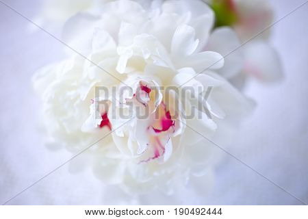 Fresh peony flower, white with a little pink.