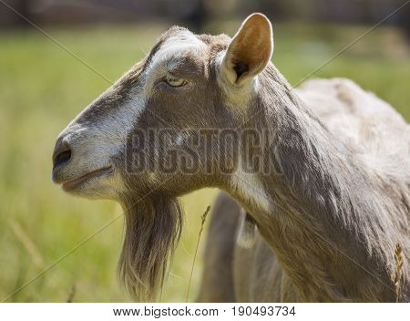 Side profile of an old Toggenburg dairy nanny goat.
