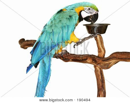 blue and gold macaw drinking from bowl on perch poster